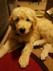 Goldendoodle Puppy For Sale in BENTONVILLE, AR