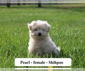 Medium Shih-Poo