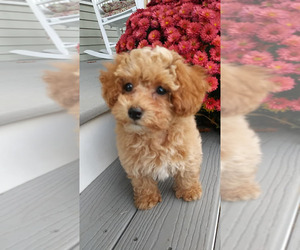 Poodle (Toy) Puppy for sale in MANCHESTER, NH, USA