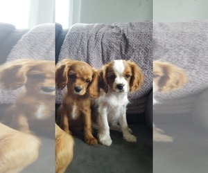 Cavalier King Charles Spaniel Puppy for Sale in ELSTONVILLE, Pennsylvania USA