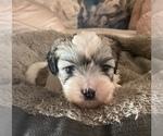 Puppy 4 Zuchon
