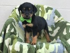 Rottweiler Puppy For Sale in EAST EARL, PA,