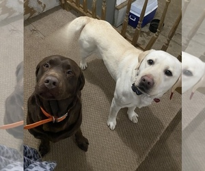 Labrador Retriever Puppy for Sale in FARWELL, Michigan USA