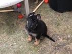German Shepherd Dog Puppy For Sale in FARGO, ND, USA