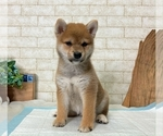 Small Photo #6 Shiba Inu Puppy For Sale in SEATTLE, WA, USA