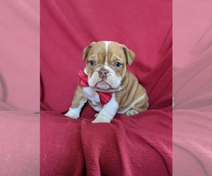 English Bulldog Puppy for sale in COCHRANVILLE, PA, USA