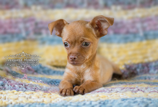 Chihuahua Puppy For Sale in TASWELL, IN, USA