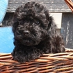 Poodle (Toy) Puppy For Sale in GAP, PA, USA