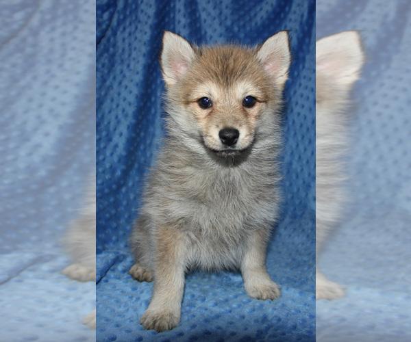 Medium Photo #2 Pomsky Puppy For Sale in DENTON, TX, USA