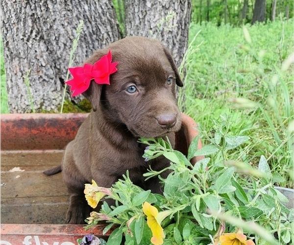 Medium Photo #4 Labrador Retriever Puppy For Sale in AVA, MO, USA