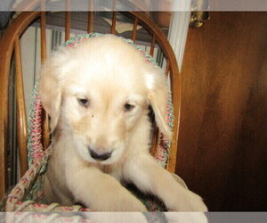 English Cream Golden Retriever Puppy for sale in S BEND, IN, USA