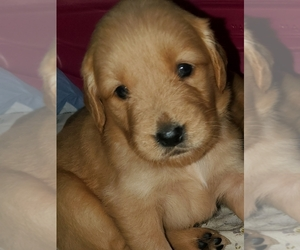 Golden Retriever Puppy for sale in SUSANVILLE, CA, USA