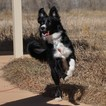 Border Collie Puppy For Sale in EVANS, Colorado,