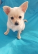 Chihuahua Puppy For Sale in SELLERSBURG, IN, USA