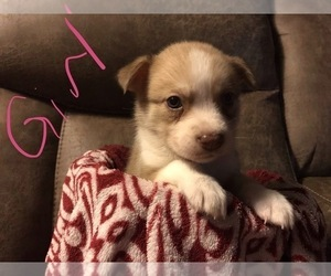 American Pit Bull Terrier-Siberian Husky Mix Puppy for sale in GLENCOE, OK, USA