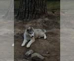 Small Photo #10 Wolf Hybrid Puppy For Sale in FILLMORE, LA, USA