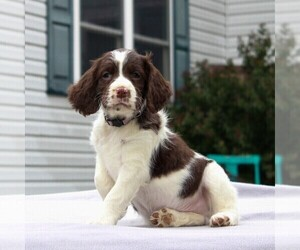 English Springer Spaniel Puppy for sale in GORDONVILLE, PA, USA