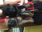 Malinois Puppy For Sale in BURLINGTON, CT, USA