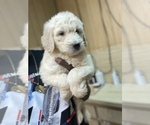 Small #7 Goldendoodle-Poodle (Standard) Mix
