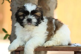View Ad Shih Tzu Litter Of Puppies For Sale Near Texas Scurry Usa