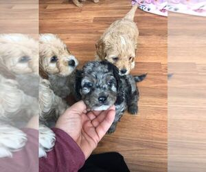 Cavapoo Puppy for sale in AUSTIN, TX, USA
