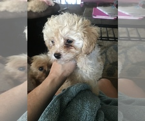 Poodle (Toy) Puppy for sale in WRIGHT CITY, MO, USA
