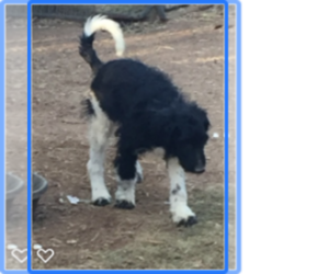 Labradoodle Puppy for sale in SCOTTSDALE, AZ, USA
