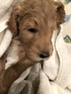 Goldendoodle Puppy For Sale in HARTVILLE, OH, USA