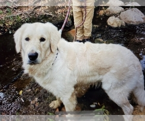 Father of the Golden Retriever puppies born on 02/27/2021