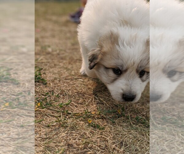 Medium Photo #103 Great Pyrenees Puppy For Sale in FALCON, CO, USA
