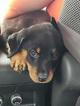 Rottweiler Puppy For Sale in PENSACOLA, FL, USA