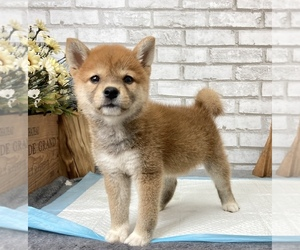 Shiba Inu Puppy for sale in SAN DIEGO, CA, USA