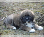 Small #13 Great Pyrenees-Tibetan Mastiff Mix