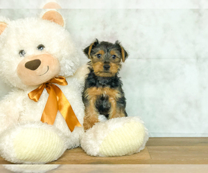 Yorkshire Terrier Puppy for sale in CLEVELAND, NC, USA