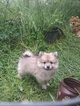 Pomeranian Puppy For Sale near 97351, Independence, OR, USA