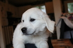 Golden Retriever Puppy For Sale in KINGSTON, WA, USA