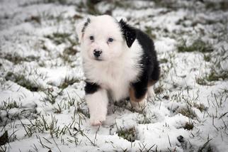 Australian Shepherd Puppy For Sale in MC NABB, IL, USA