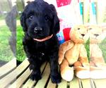 Puppy 3 Bernedoodle