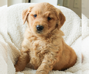 Golden Retriever Puppy for sale in EAST EARL, PA, USA