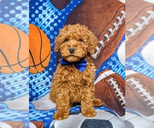 Goldendoodle Puppy for sale in GLEN ROCK, PA, USA