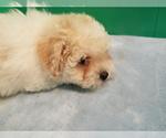 Puppy 3 Bichon-A-Ranian-Poodle (Standard) Mix