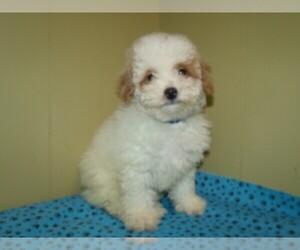Poochon Puppy for sale in PATERSON, NJ, USA