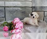 Small #9 Poodle (Miniature)-Saint Bernard Mix