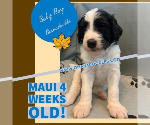 Medium Photo #4 Bernedoodle Puppy For Sale in OMAHA, NE, USA