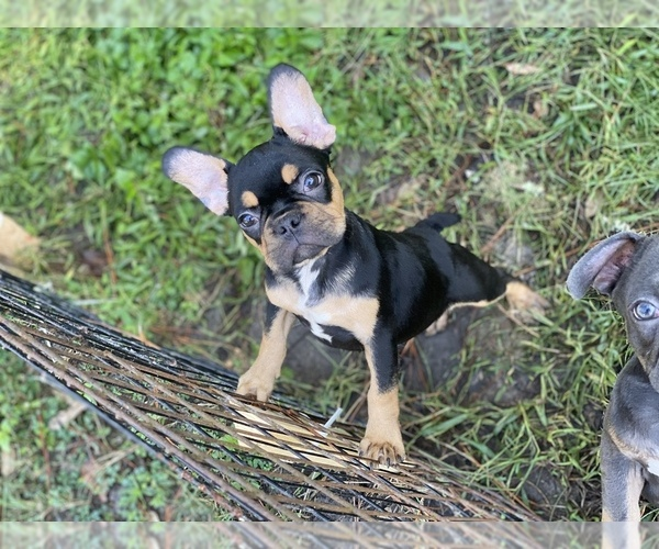 Medium Photo #8 French Bulldog Puppy For Sale in JACKSONVILLE, FL, USA