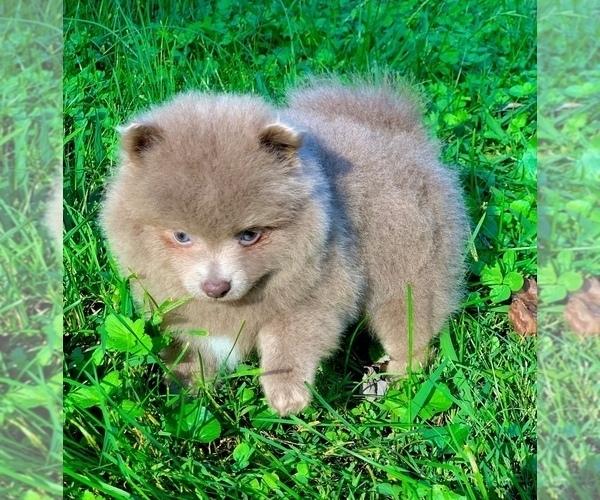 Medium Photo #6 Shih Tzu Puppy For Sale in BUFORD, GA, USA