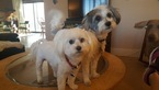 Maltese and MalteseMix Looking for a Home