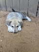 Wolf Hybrid Puppy For Sale in MEDON, TN, USA