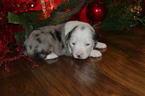 Miniature Australian Shepherd Puppy For Sale in FLETCHER, OK, USA