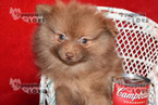 Pomeranian Puppy For Sale in SANGER, Texas,